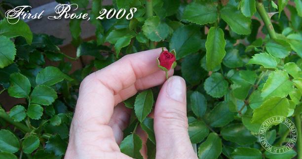 MW May Roses 2013c