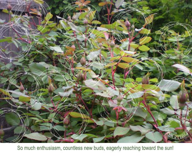 MW May Roses 2013d