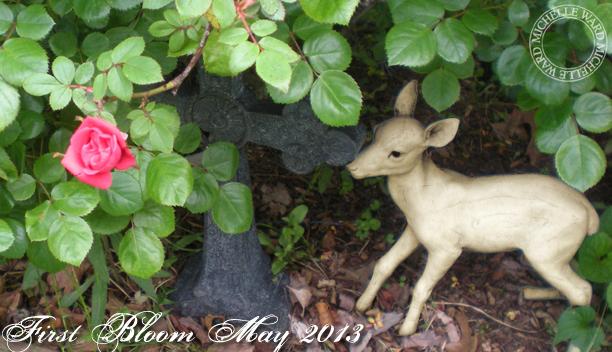 MW May Roses 2013