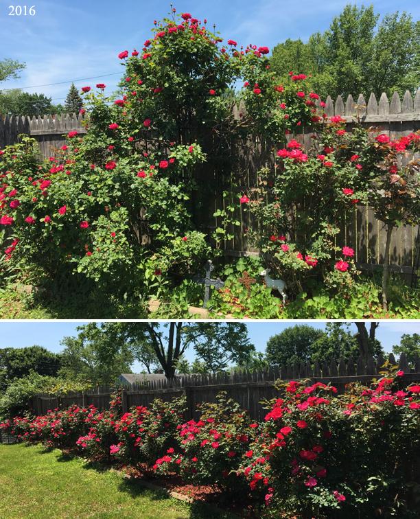 MW roses 2016