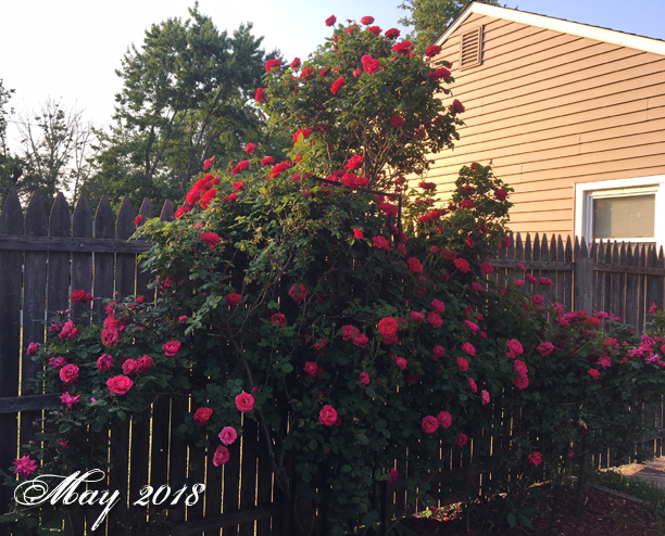 MW RosesMay2018a