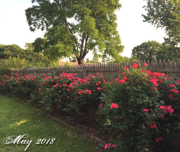 MW RosesMay2018b